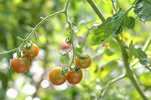 無農薬・無化学肥料のミニトマトだけを使用