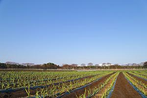 美味しいニンニクは土作りから始まります